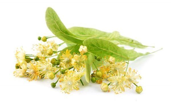 цветок липы